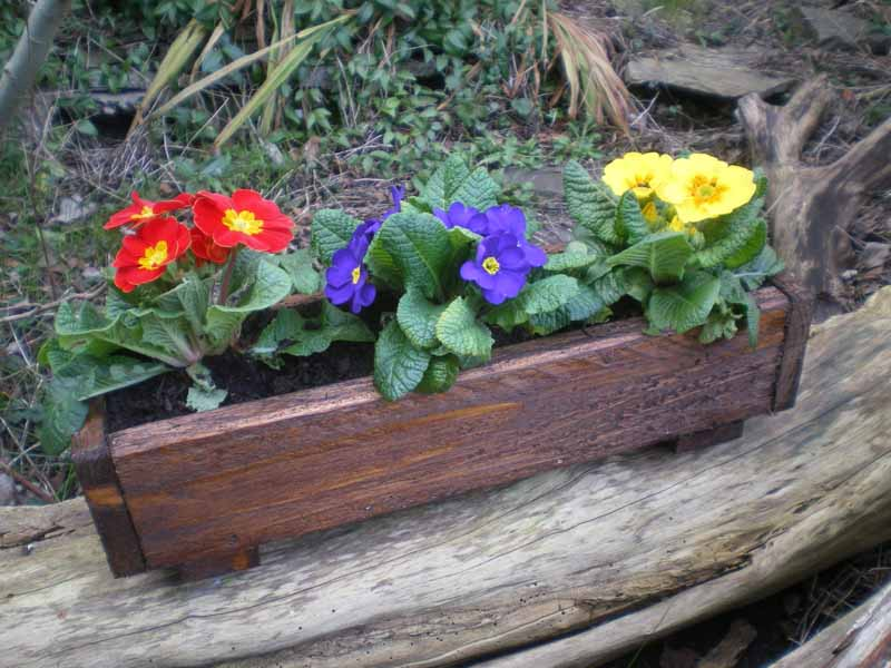 Primroses in small rustic planter